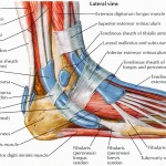 Ankle diagram